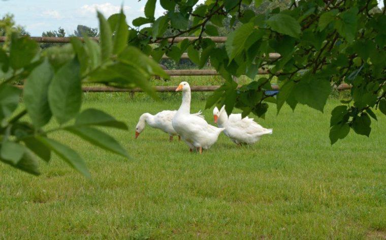 Geese at Greenway Farm